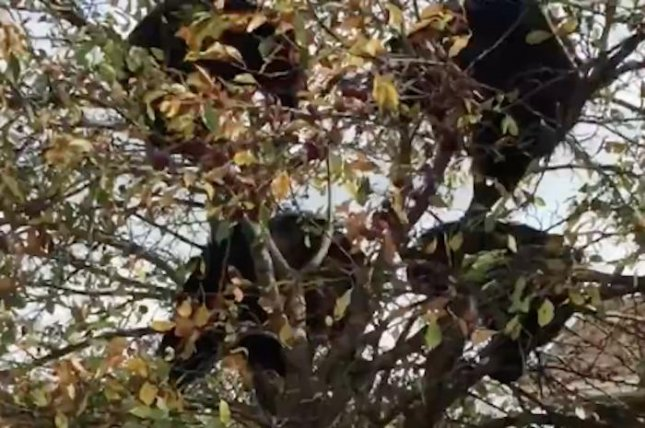 A family of black bears stopped in a Canadian neighborhood to grab a snack from a crab apple tree. The mother and her three cubs climbed to the top of the small tree and simply walked away after finishing their meal.  Screen capture/Megan Megan/YouTube