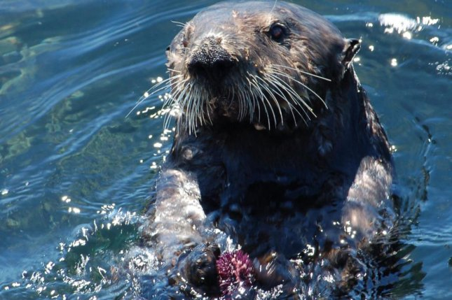 Without otters, Alaskan reefs more vulnerable to climate change, urchins