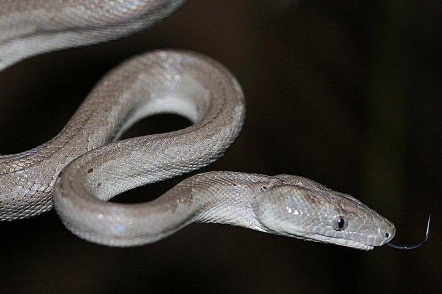 The Bahamian silver boa sticks out its tongue. Researchers say the discovery of a new species of snake is quite rare. Photo by Graham Reynolds/UNC-Ashville