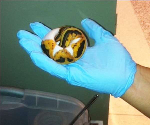 TSA intercepted seven snakes and three tortoises concealed in the pants of a man seeking to fly to Brazil. (TSA)