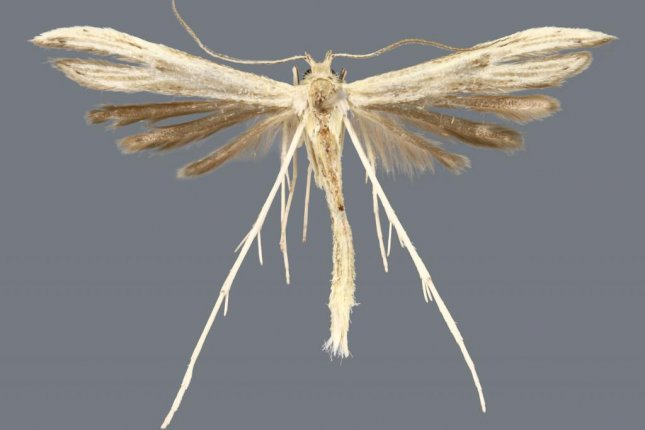 Hellinsia lucayana is one of four new plume moth species discovered living in the Bahamas. Photo by Deborah Matthews/Florida Museum