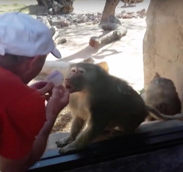 A baboon was left stunned by a zoo goer's card trick. The baboon reached toward the glass as it appeared to gasp as the man made a white card disappear. Screen capture/America's Funniest Home Videos/YouTube
