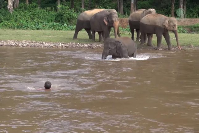 An elephant rushes to assist a human friend who appears to be struggling in some river rapids. Screenshot: Elephant News/YouTube