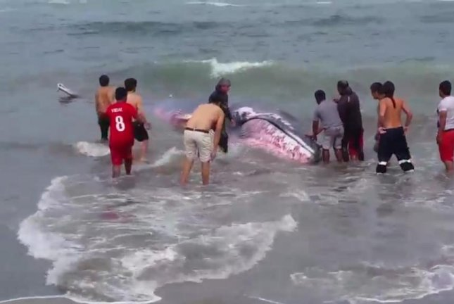Residents of Arica, Chile, help a beached whale get back out to sea. Screenshot: Storyful