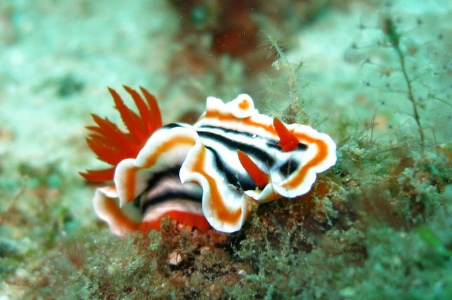 Lazier sea slug species -- species with slower metabolism -- are more likely to survive across large evolutionary timelines. Photo by Pixabay/CC