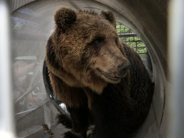 Papillon the bear -- officially known as M49 -- was recaptured in Italy's Trentino province 42 days after escaping from its enclosure at a wildlife park. Photo courtesy of Trentino Province