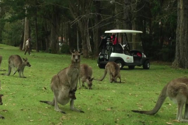 A mob of kangaroos stands by while golfers play on at an Australian golf course. Screenshot: Storyful