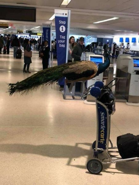 A woman attempted to bring her pet peacock onto a flight out of Newark Liberty International Airport. Photo via The Jet Set/Facebook