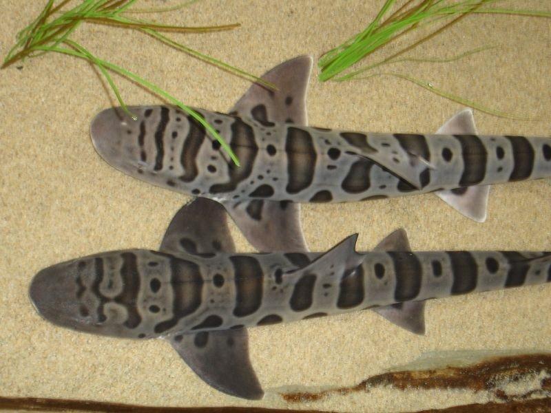 Leopard sharks Wikimedia Commons