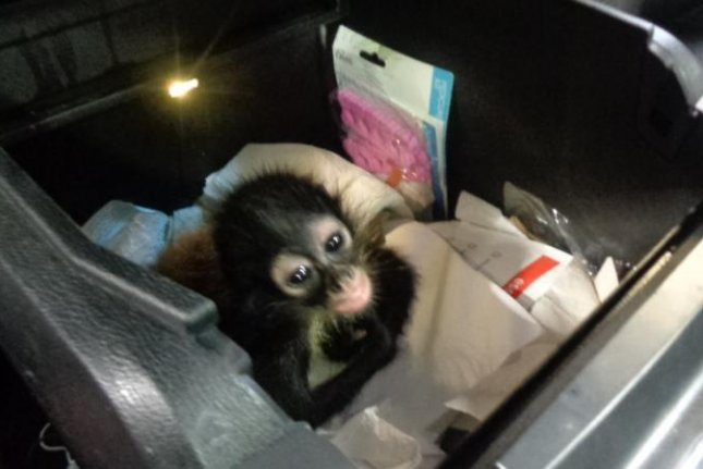 Customs officers in Texas found a young spider monkey concealed in the center console of a pickup truck attempting to enter the United States from Mexico. Photo courtesy of U.S. Customs and Border Protection