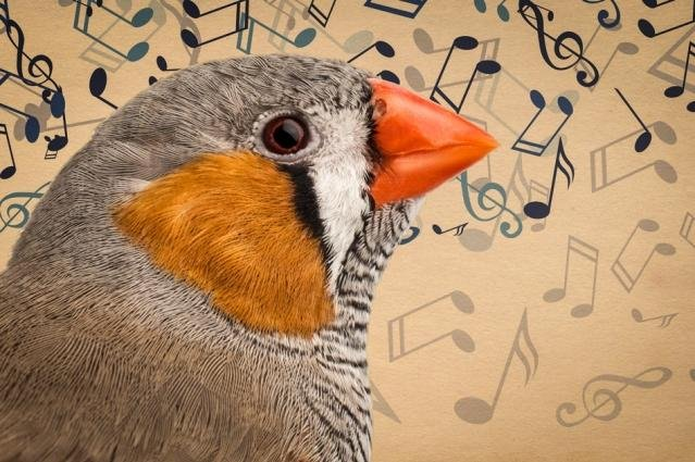Zebra finches develop their signature song by improvising on the initial syllable learned by mimicking their father. Photo by MIT News