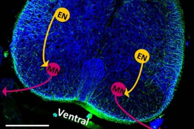 A cross-section of a rat's spinal cord shows the location of neurons and evidence of neuronal stimulation. Photo by Collin D. Kaufman