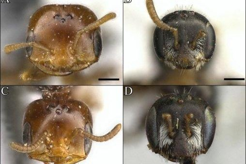 Researchers have discovered nine new solitary bee species in the desert ecosystems of the American Southwest. Photo by Zach Portman/Utah State University