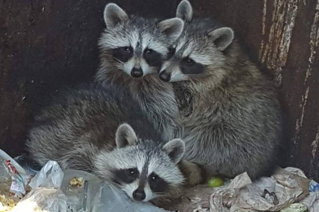 Image of: Rabies Animal Control Officers In Connecticut Responded To Restaurant Dumpster Where They Rescued Mother Raccoon And Her Three Babies Wildlife Management Pros Look Mother Raccoon And Babies Rescued From Dumpster Upicom