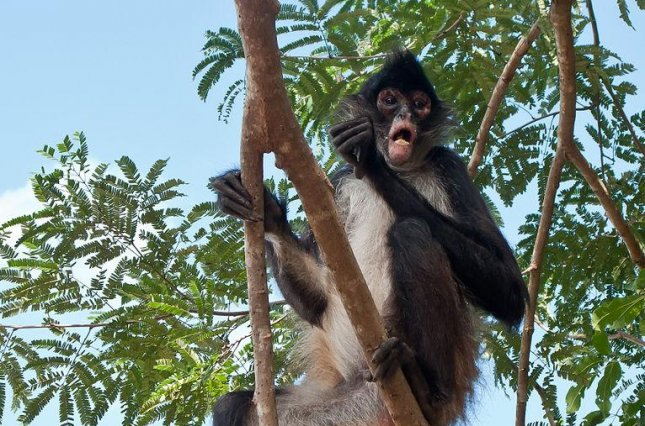 Researchers say that spider monkeys use collective computing find the optimal methods and team size when foraging for food. Pictured, a spider monkey in Quintana Roo, Mexico. Photo by Luis Miguel Bugallo Sanchez/Wikimedia