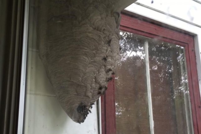 Watch Window Tapping Turns Out To Be Hornet Nest Upi Com