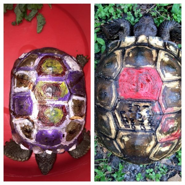 Two tortoises were found vandalized in the Orlando, Fla., area. Photo by Back To Nature Wildlife Refuge/Facebook