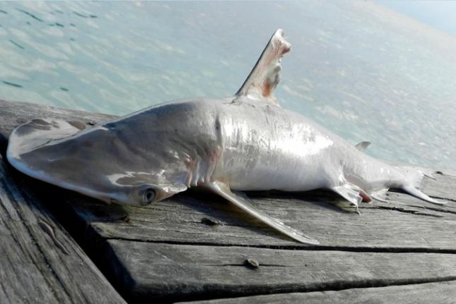 Scientists report possible new hammerhead shark species