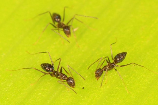 Ants rely on their collective brainpower to navigated obstacle-riddled environs. Photo by Judy Gallagher