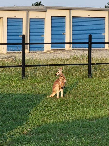 Authorities inBoerne, Texas, were able to capture a kangaroo spotted hopping loose and return the Australian animal to its owner. Photo courtesy of the Kendall County Sheriff's Office