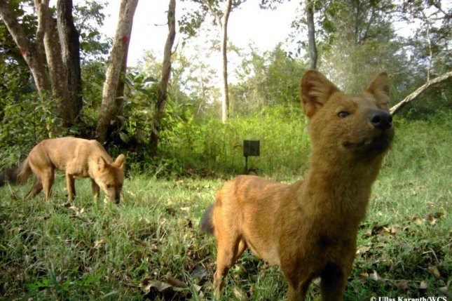 A pair of dholes, Asian wild dogs, are seen hunting in India's Western Ghats region. Photo by Ullas Karanth/WCS