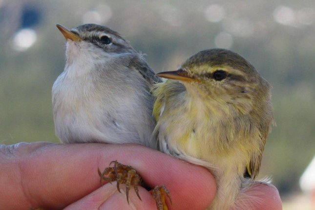 Genes dictate the divergent migrational patterns of willow warblers. Photo by Max Lundberg/Lund University