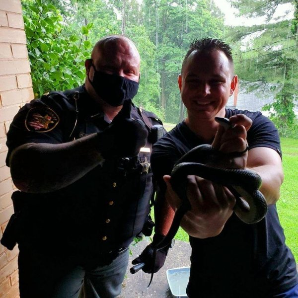 A team of wildlife specialists with an Ohio sheriff's office responded to a woman's home to remove a 4-foot snake spotted on a shelf in her laundry room. Photo courtesy of the Belmont County Sheriff's Office/Facebook