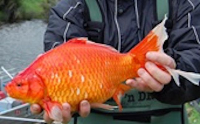 Researchers from Murdoch University and the Centre of Fish and Fisheries tracked the migration pattern of a school of football-size goldfish in Australia, which they say are unwanted pets that have been released into waterways, where they cruise along the bottom and hoover up sediment. Photo courtesy of Murdoch University.