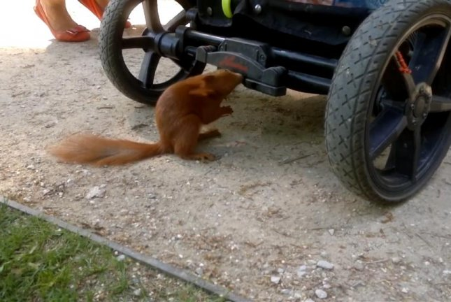 A squirrel tries to determine whether a stroller is edible. Screenshot: Storyful