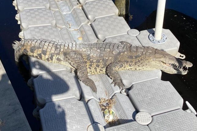 An American crocodile was spotted sunning itself on the floating dock in a Florida woman's back yard. Experts said the species, native to the southern tip of Florida, is rarely seen as far north as the Punta Gorda area. Photo courtesy of the Punta Gorda Police Department