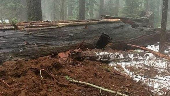 The famous Pioneer Cabin Tree in California's Calaveras Big Trees State park fell Sunday after the ground around it flooded. The 150-foot tree, noted for its iconic carved pathway through it, was a tourist attraction for many years. Photo by California Big Trees Association/Facebook