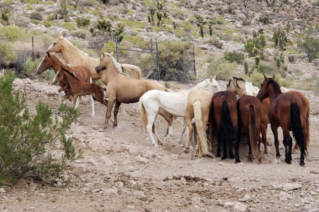 The U.S. Bureau of Land Management says it must drastically reduce the number of wild horses and burros on the U.S. rangeland. Photo courtesy of the Bureau of Land Management