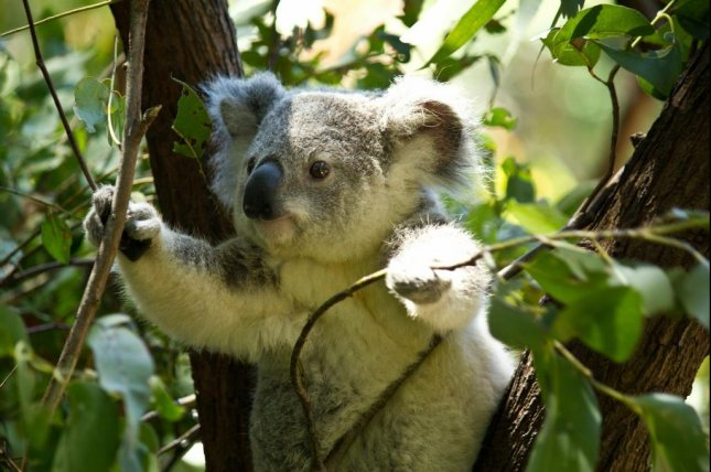 The koala-counting drones were faster and more accurate than human spotters. Photo by QUT