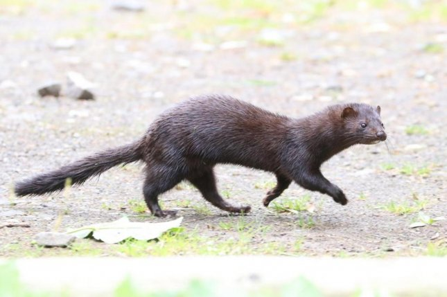 The invasion of the American mink in Britain has led to declines in the number of European mink. Photo by Tim Blackburn/UCL