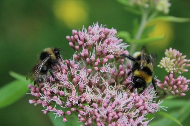 Bumblebee reproductive rates are significantly affected by radiation exposure, according to a study near Chernobyl. Photo byNeedPix/CC