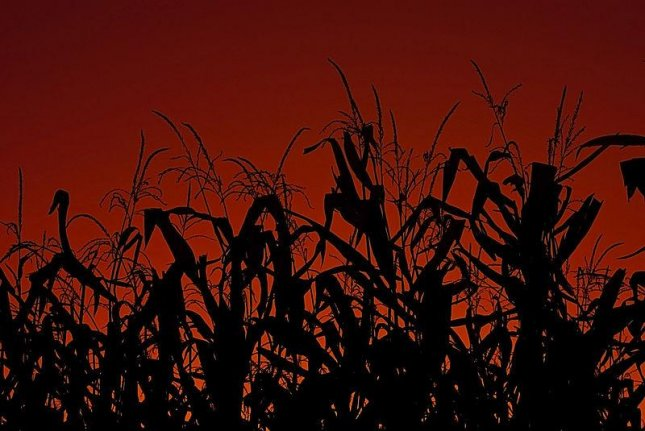 Corn stalks at sunset. New study suggests plants perform sophisticated arithmetic division to ration food through the night until sunrise. (CC/Charles Knowles)