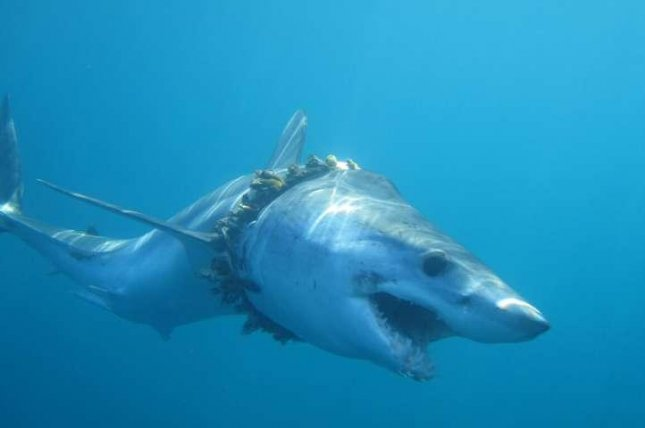 An adult shortfin mako shark does his best to swim despite being entangled in discarded fishing rope. Photo by Daniel Cartamil/University of Exeter
