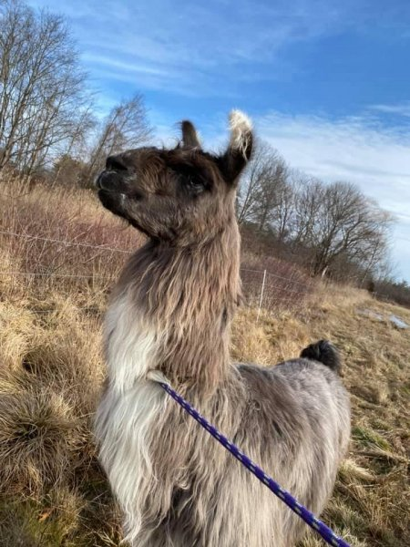 Animal control officers are trying to find the owner of a llama found wandering loose in a field in the Newburyport area. Photo by Newburyport/West Newbury Animal Control/Facebook