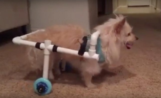 A 22-year-old California man built a makeshift wheelchair for his girlfriend's dog out of PVC pipes. The project cost $40 and saved the family from having to pay $8,000 for surgery or $1,000 for a custom wheelchair. Screen capture/Victor Valley News Inc./YouTube