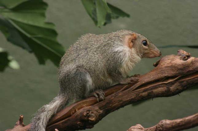 Treeshrews don't follow the ecogeographical rules governing body size variation. Photo by Anthony Cramp/Flickr