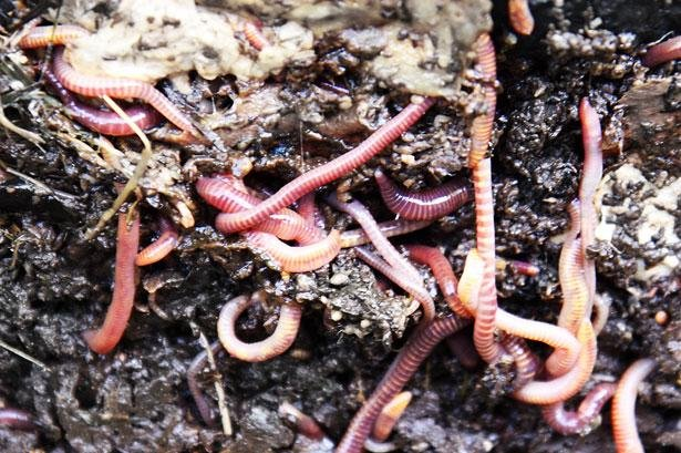 Earthworm diversity is greatest in temperate regions, new research showed. Photo by Petr Kratochvil/CC