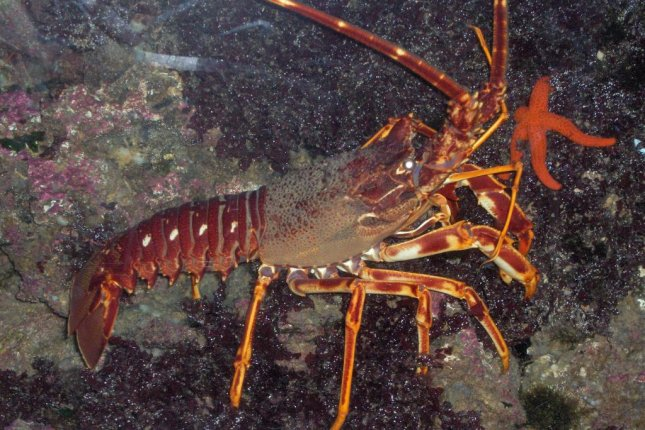 The European spiny lobster, Palinurus elephas, can produce really loud noises by rubbing its antenna on a rough patch beneath its eye. Photo by Georges Jansoone/Wikimedia