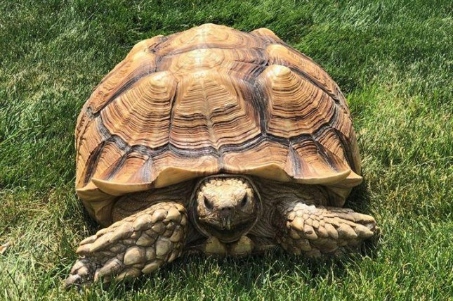 An animal control officer in Illinois responded to a report of a large reptile on the loose and ended up wrangling a 45-pound African tortoise. Photo courtesy of the Morton Grove Police Department