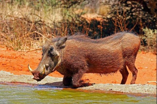 Despite religious taboos against the consumption of pigs and monkeys in the Muslim-dominated regions of West Africa, researchers have found evidence of increased demand for warthogs and green monkeys at bushmeat markets in rural Guinea. Photo by Charles Sharp/Wikimedia Commons