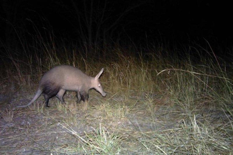 An aardvark. Photo by INBAC/CLP/Panthera