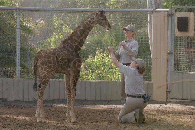 The smallest giraffe ever born at the San Diego Zoo is measured by zookeepers. Screenshot: Storyful