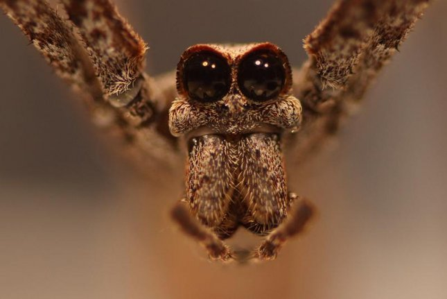Prior to sexual maturity, male net-casting spiders boast some of the largest eyes in the arachnid world. Photo by Jay Stafstrom/University of Nebraska