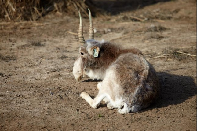 Why did 60,000 antelope die in four days?