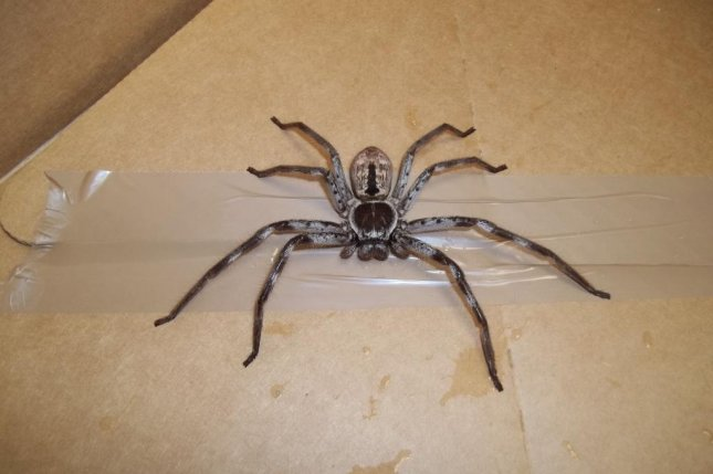 The RSPCA said a team of movers in Britain discovered a massive huntsman spider in a container filled with a family's belongings after a three-month voyage from Australia. Photo courtesy of the RSPCA