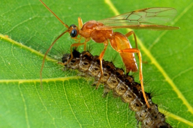 Biological control agents can successfully be used to combat common crop pests, according to new research. Photo by Wikimedia Commons